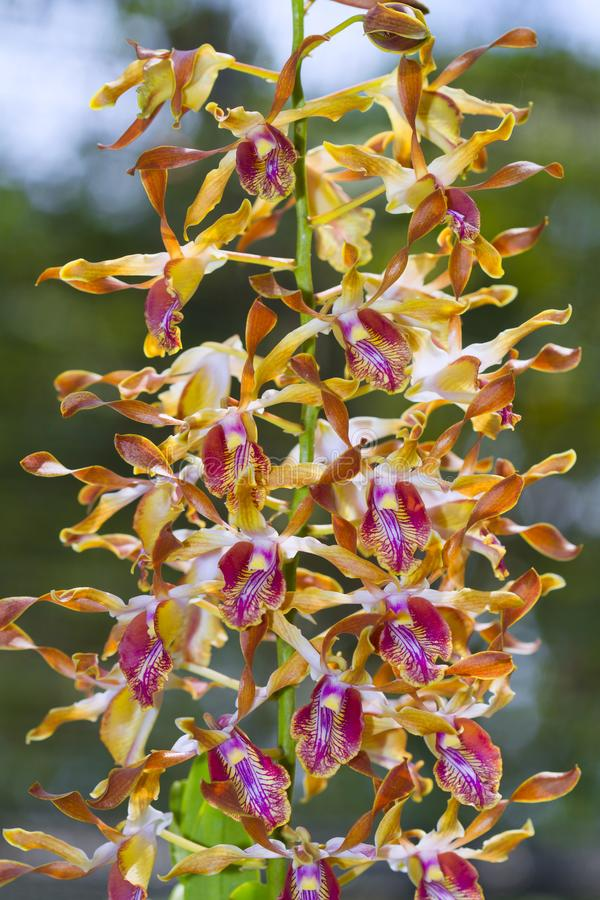 A raça da orquídea fotos de stock