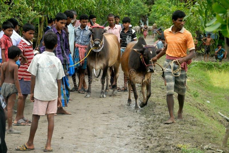 Raça da vaca imagens de stock royalty free