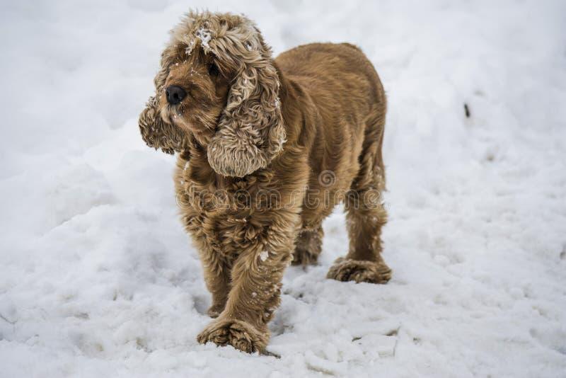 Raça de Cocker Spaniel do cão na neve imagem de stock royalty free