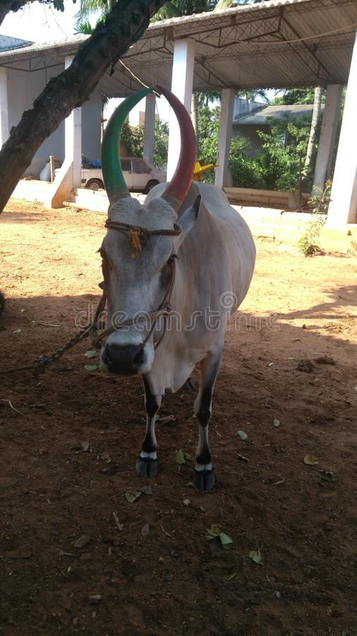 Raça de gado indiana nativa imagem de stock royalty free