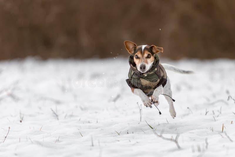 Raça de Jack Russell Terrier sobre um prado coberto de neve e para ter um revestimento a proteger contra o frio fotografia de stock royalty free