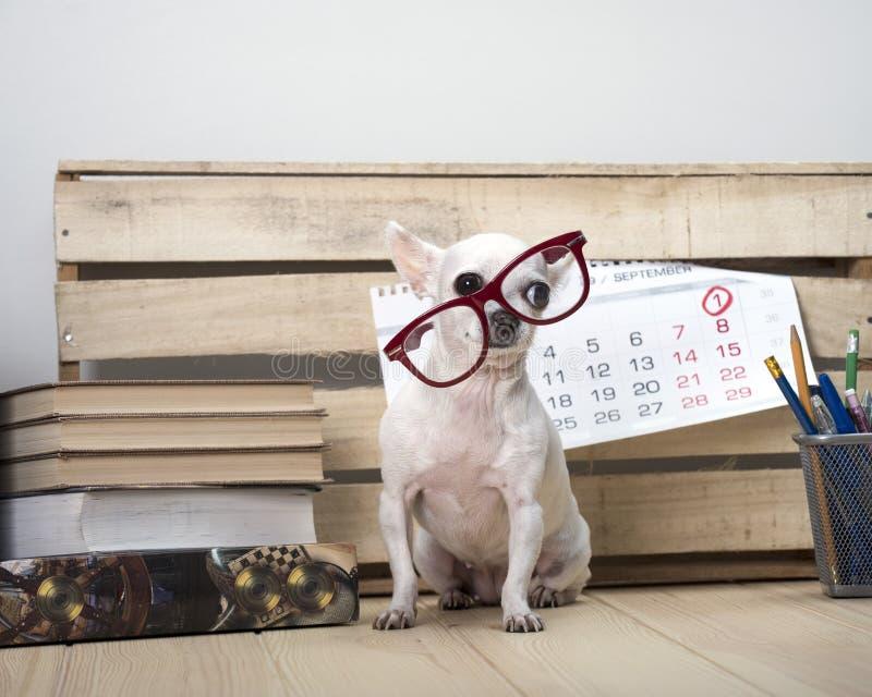Raça do cão da chihuahua nos vidros, entre livros e com um calendário de parede imagem de stock