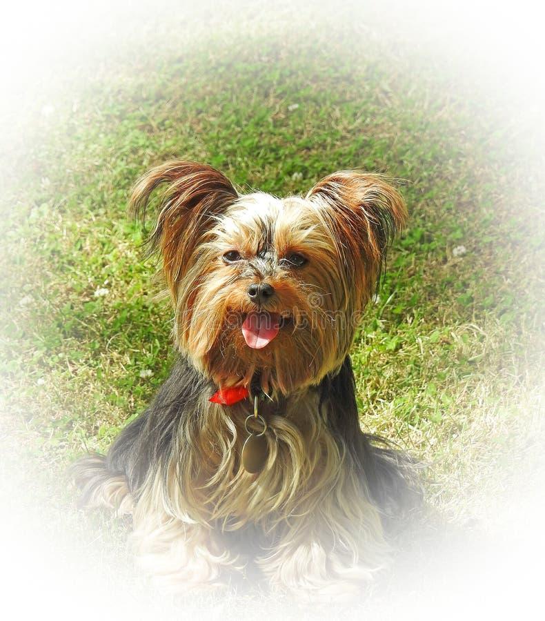 Ra?a do c?o do yorkshire terrier do cachorrinho da pedigree na beira do fundo do halo do branco de jardim do gramado foto de stock royalty free