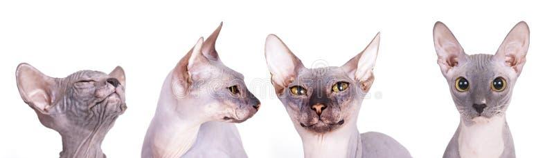 Raça do gato de Sphynx fotos de stock royalty free