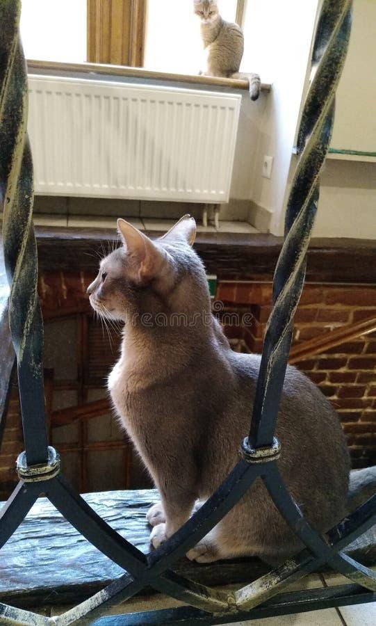 Raça do gato orgulhosa fotografia de stock royalty free