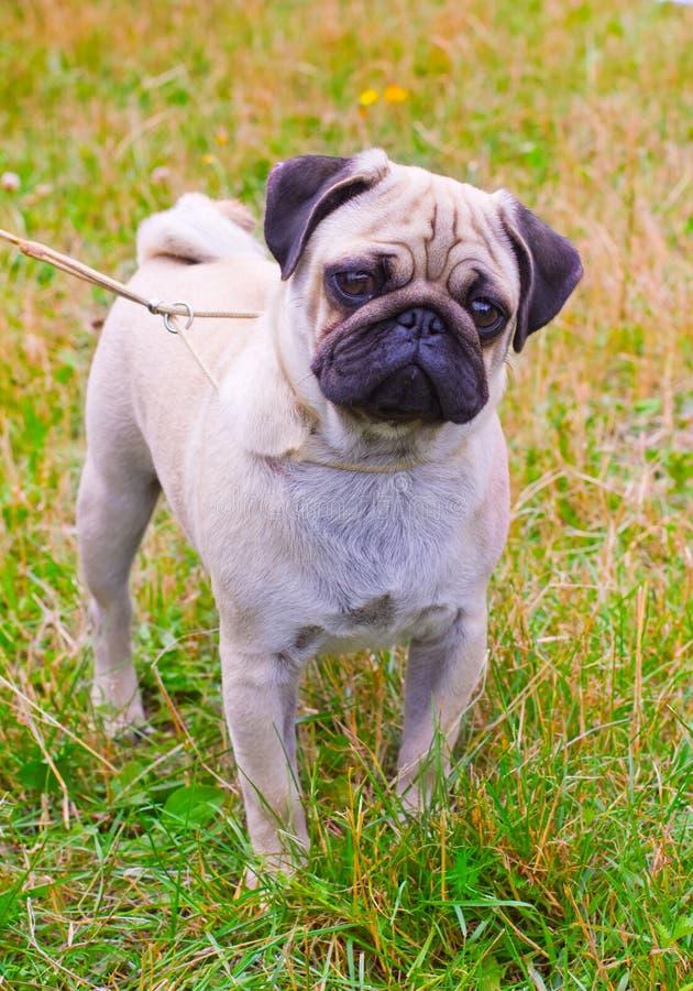 Raça do pug da jovem corça do cão na grama verde no verão fotografia de stock royalty free