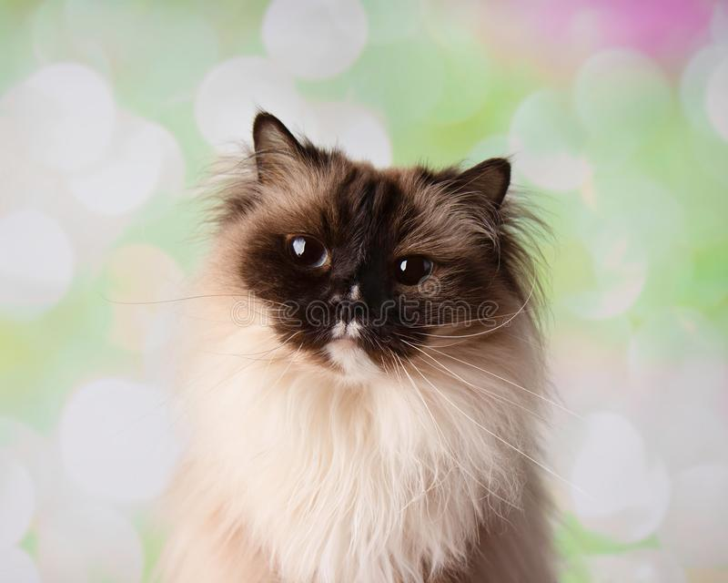 Raça Eyed azul Cat Close Up Face de Ragdoll foto de stock royalty free