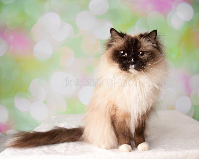 Raça Eyed azul Cat Sitting de Ragdoll com cauda fotografia de stock