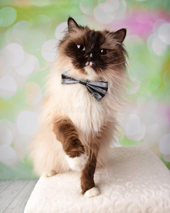Raça Eyed azul Cat Sitting de Ragdoll com Paw Up Wearing Bow Tie fotos de stock royalty free