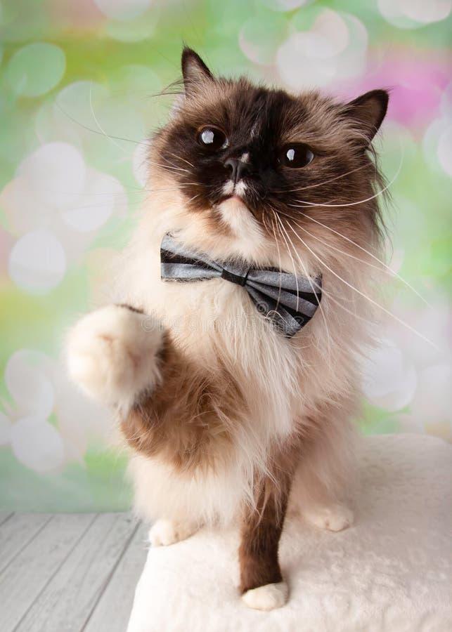 Raça Eyed azul Cat Sitting de Ragdoll com Paw Up Wearing Bow Tie fotografia de stock royalty free