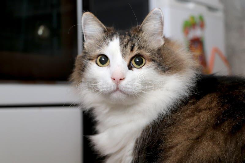 Raça Forest Cat norueguês fotografia de stock
