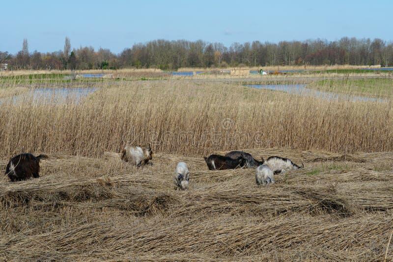 Raça holandesa das cabras nos Países Baixos imagem de stock royalty free