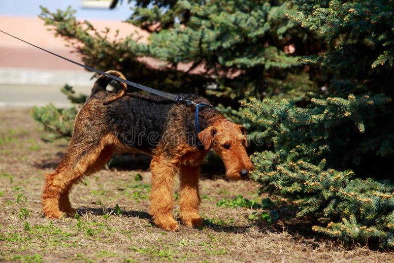 Raça Lakeland Terrier do cão imagem de stock