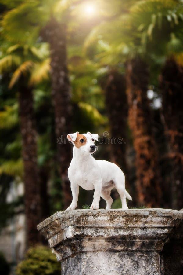 Raça pequena Jack Russell Terrier do cão do cachorrinho imagens de stock royalty free