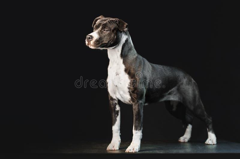 Raça preto e branco nova Staffordshire Terrier americano do cão isolado no fundo preto imagens de stock royalty free