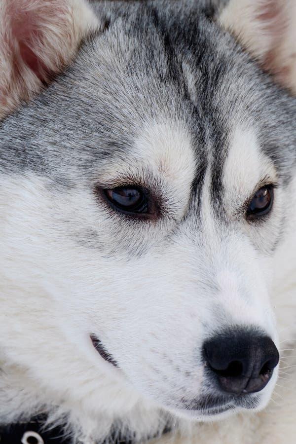 Raça ronca do cão imagem de stock royalty free