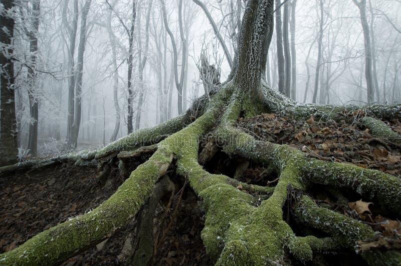 Raíces congeladas de un árbol viejo foto de archivo libre de regalías