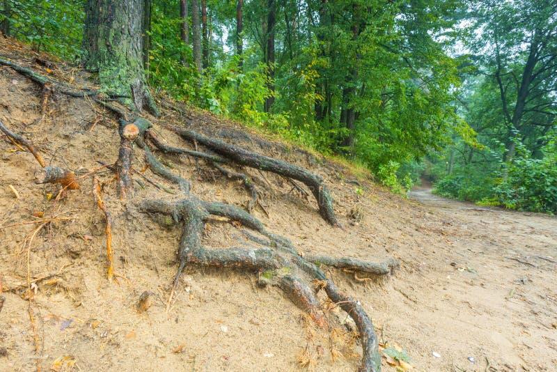 Raíces de árboles en bosque otoñal fotografía de archivo
