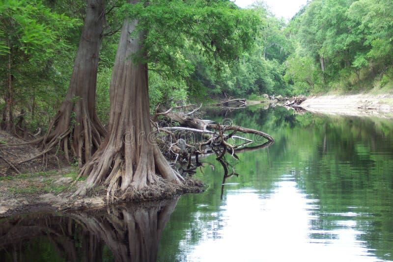 Raíces de Chipre en el río de Suwannee imagen de archivo