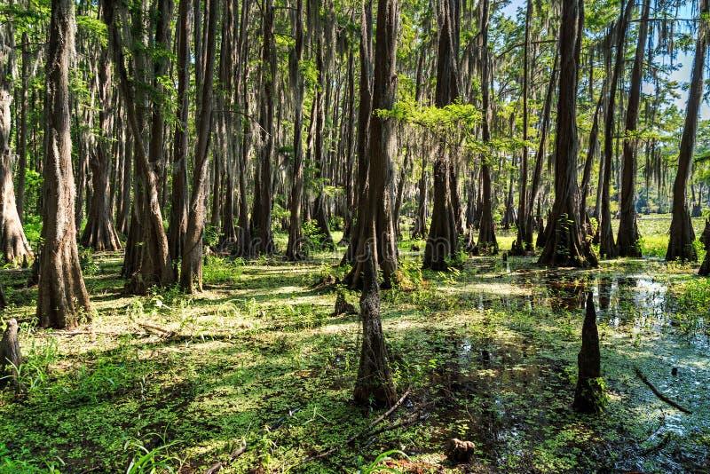 Raíces de los árboles de Cypress en el lago Caddo, Tejas foto de archivo libre de regalías