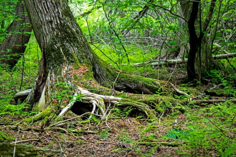 Raíces de Moss Covered Tree Trunk And fotos de archivo