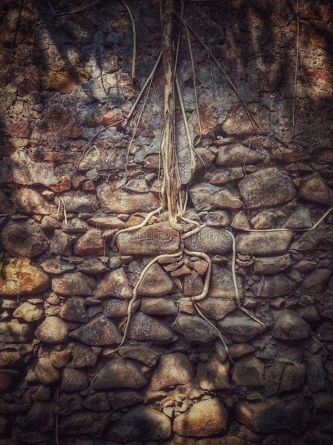 Raíces de un árbol que pasta una pared en el fuerte de Bassein en la India foto de archivo
