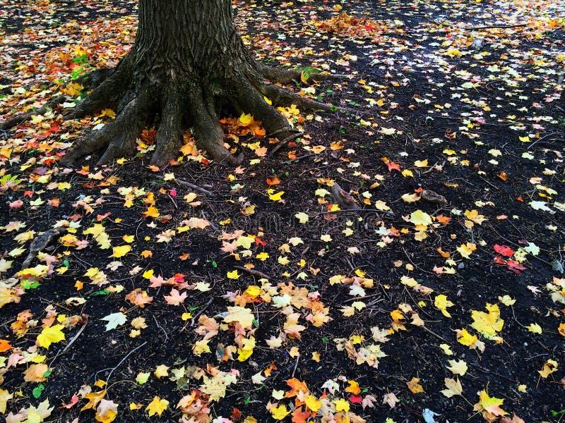 Raíces de un árbol y de hojas de otoño de oro foto de archivo libre de regalías