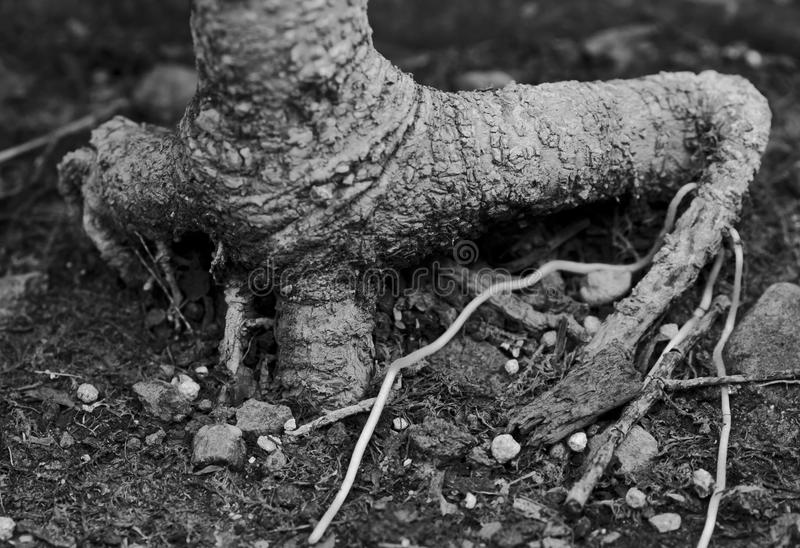 Raíces de un bonsai de los ficus imágenes de archivo libres de regalías