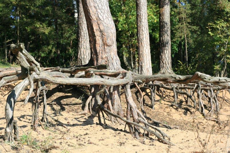 Raíces del árbol imágenes de archivo libres de regalías