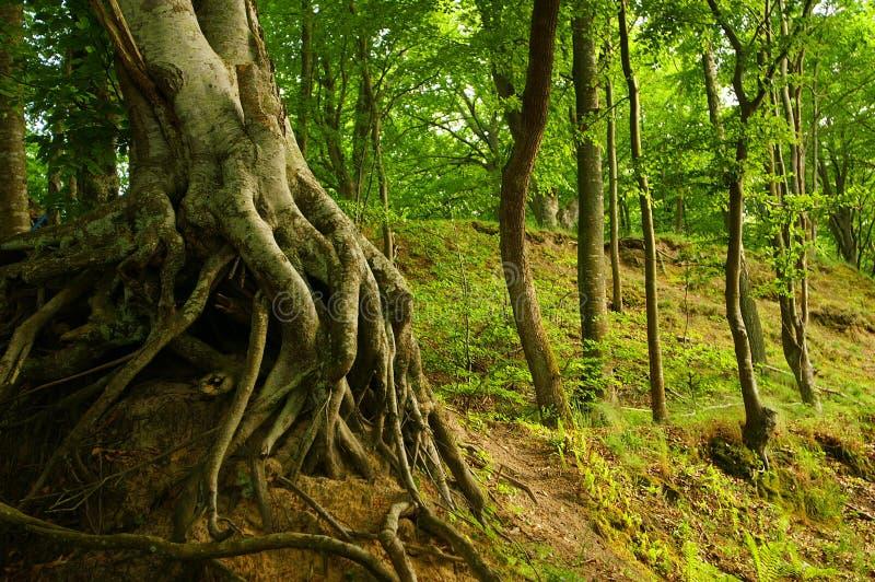 Raíces del árbol imagen de archivo