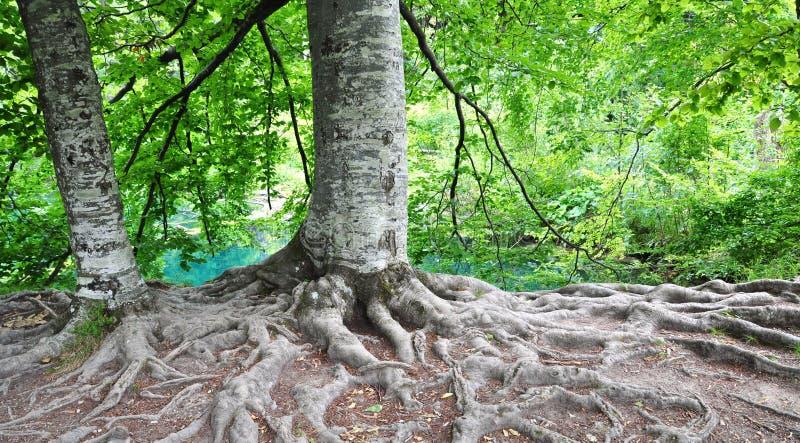 Raíces del árbol imagenes de archivo