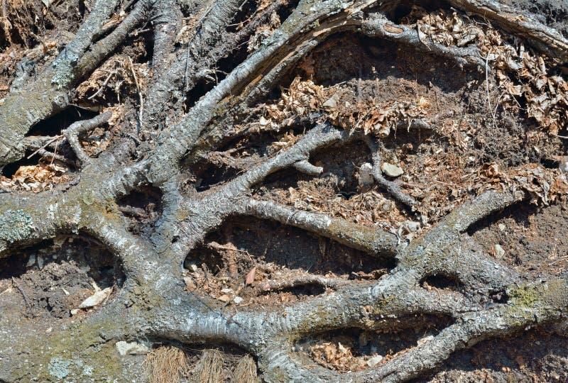 Raíces del árbol imagen de archivo libre de regalías