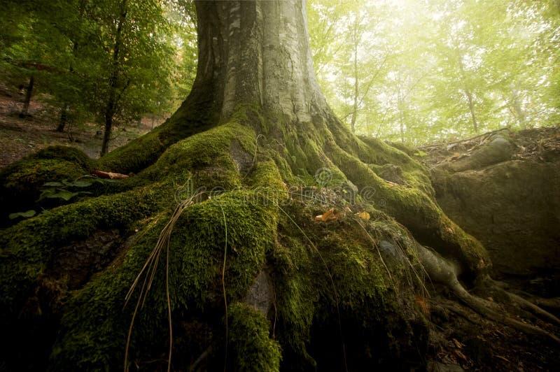 Raíces del árbol con el musgo verde y el sol que brillan en un bosque en verano foto de archivo