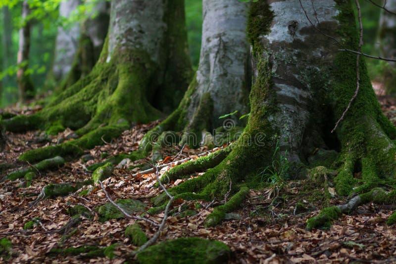 Raíces del árbol con el musgo y la sol en un bosque verde imágenes de archivo libres de regalías
