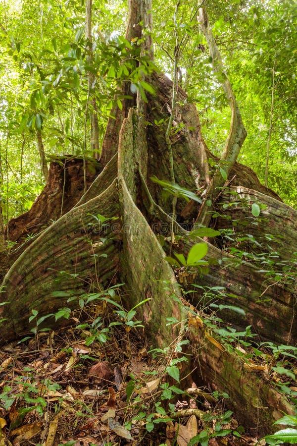 Raíces del árbol del contrafuerte en selva tropical foto de archivo