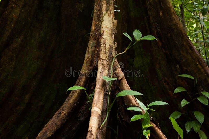 Raíces del árbol del contrafuerte en selva tropical fotos de archivo
