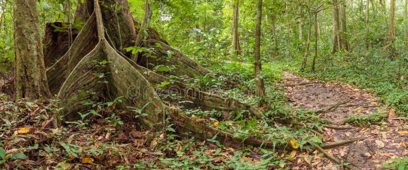 Raíces del árbol del contrafuerte en selva tropical imagen de archivo libre de regalías