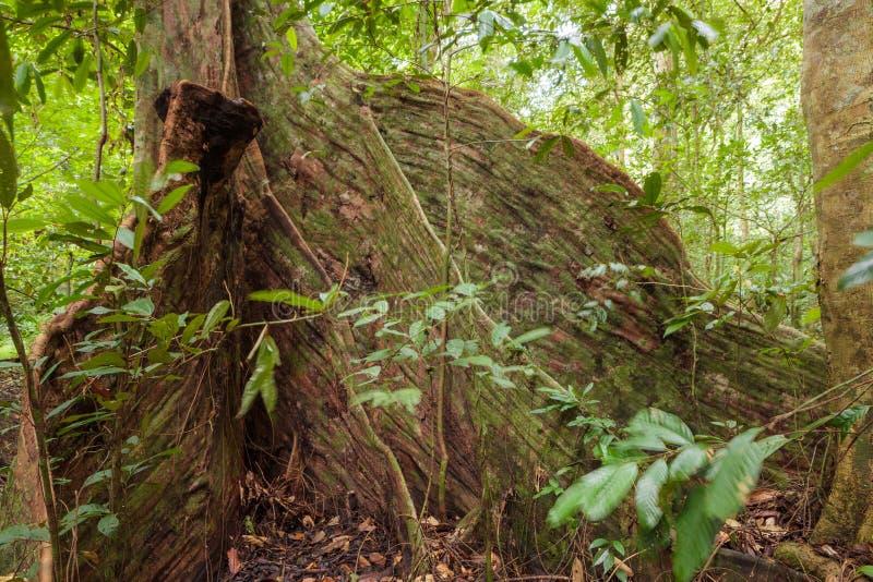 Raíces del árbol del contrafuerte en selva tropical fotografía de archivo libre de regalías