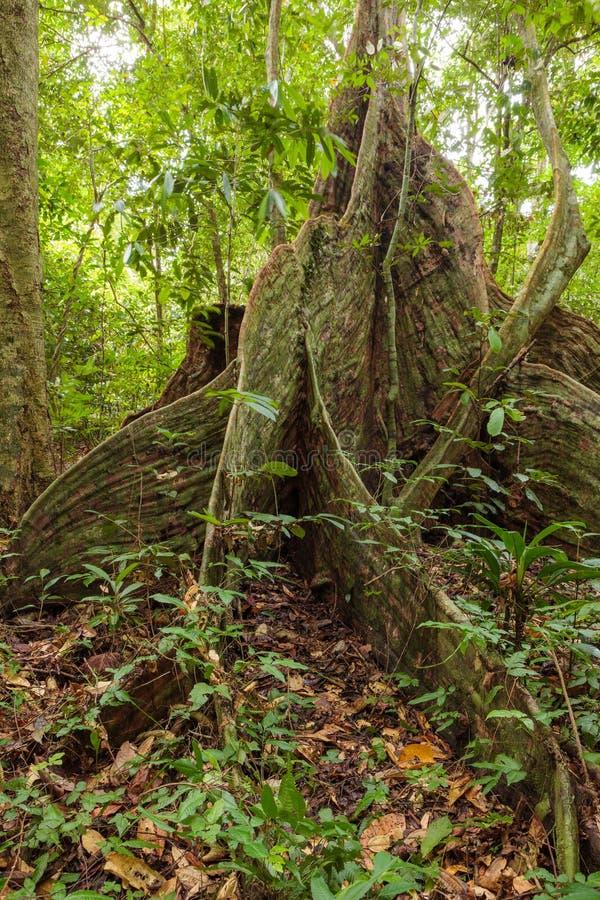 Raíces del árbol del contrafuerte en selva tropical imagenes de archivo
