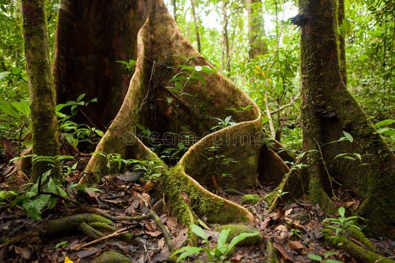 Raíces del árbol del contrafuerte en selva tropical fotos de archivo libres de regalías