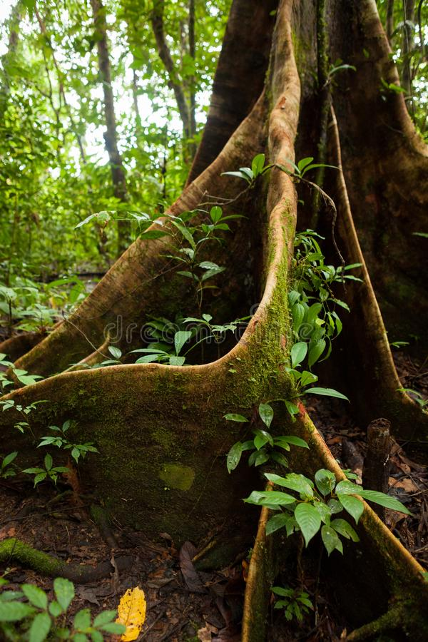 Raíces del árbol del contrafuerte en selva tropical foto de archivo libre de regalías