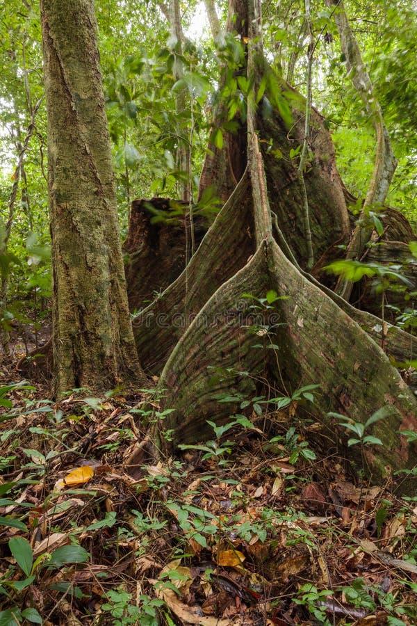 Raíces del árbol del contrafuerte en selva tropical imagen de archivo