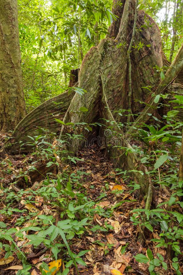 Raíces del árbol del contrafuerte en selva tropical imágenes de archivo libres de regalías