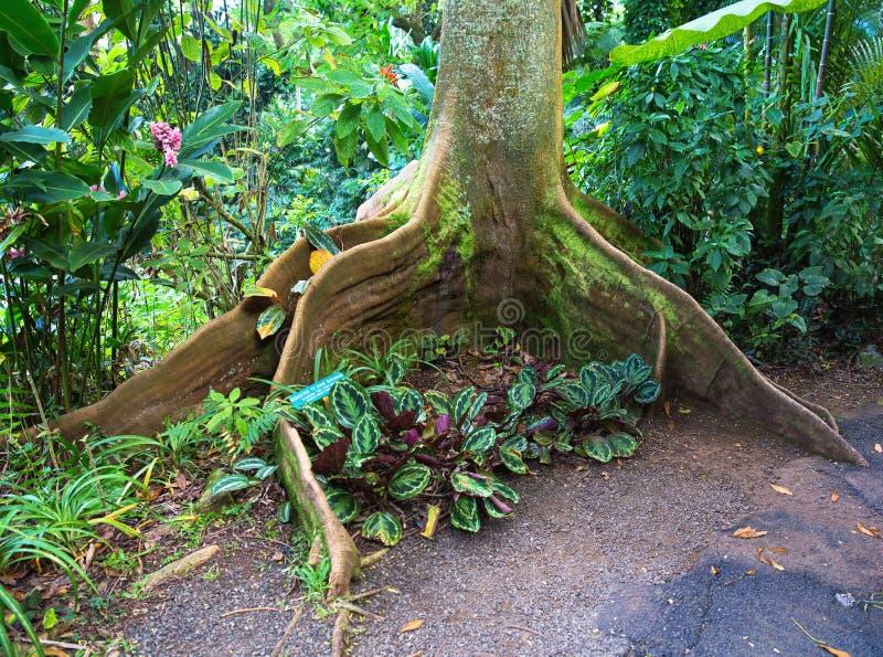 Raíces del árbol de higo de la bahía fotografía de archivo libre de regalías
