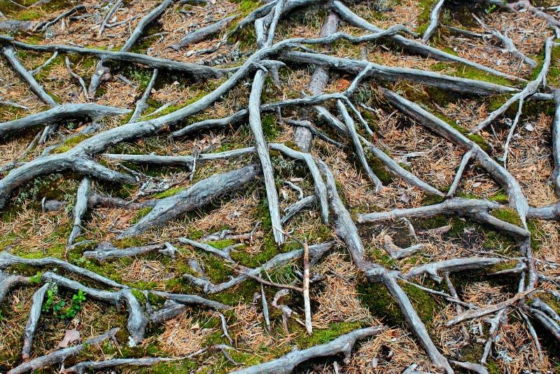 Raíces del árbol de pino Fondo botánico abstracto fotografía de archivo