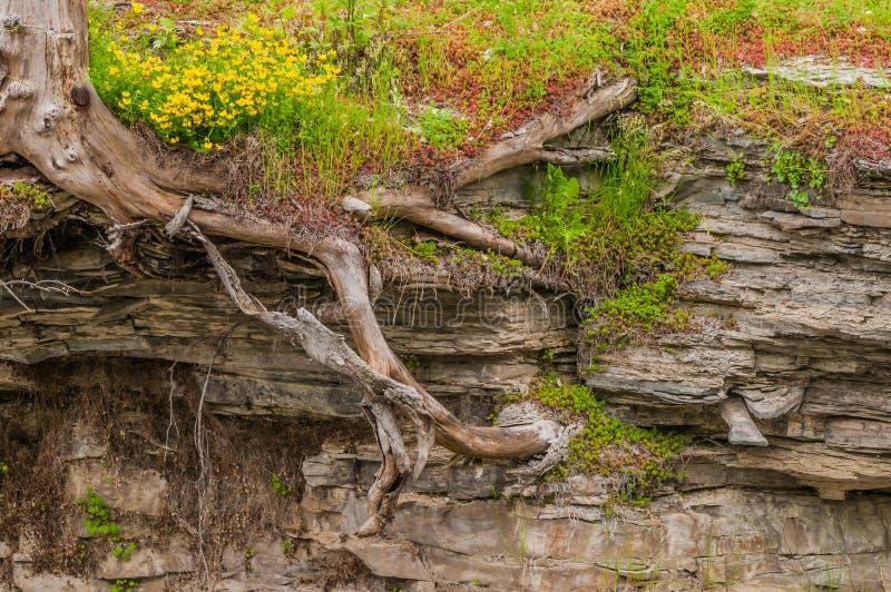 Raíces del árbol en pizarra imagen de archivo