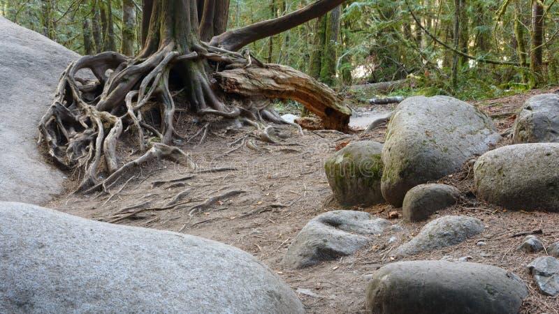 Raíces del árbol en rocas fotografía de archivo