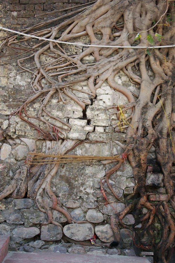 Raíces del árbol que crecen a través de la pared de ladrillo   foto de archivo libre de regalías