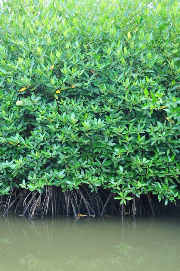 Raíces del bosque del mangle fotografía de archivo