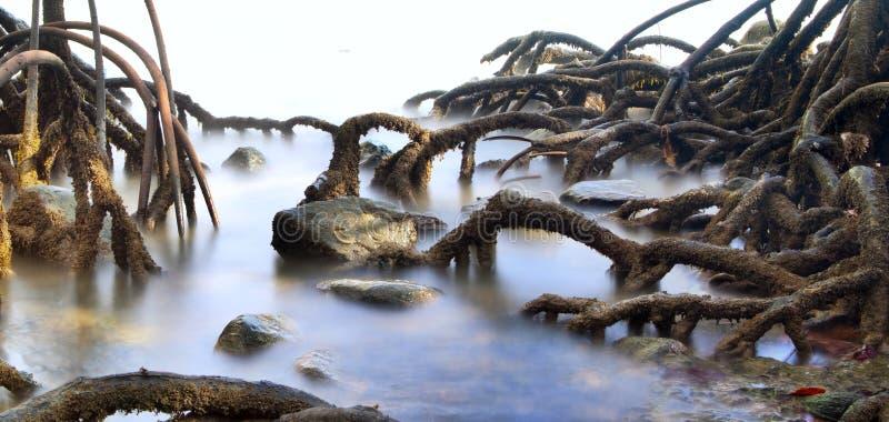 Raíces del pantano del bosque del árbol del mangle fotografía de archivo